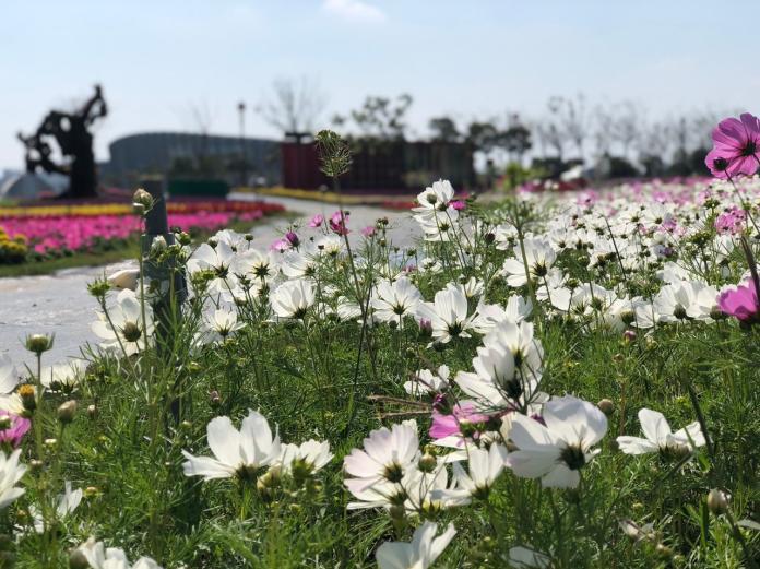 南院的波斯菊、向日葵、薰衣草等花卉輪番繽紛到3月。