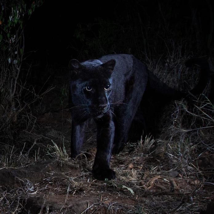 <br> ▲相隔 110 年,終於在非洲大陸拍攝到野生黑豹的蹤影。(圖/翻攝自Burrard-Lucas Photography臉書)
