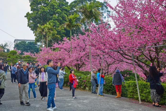 天元宮後山櫻花