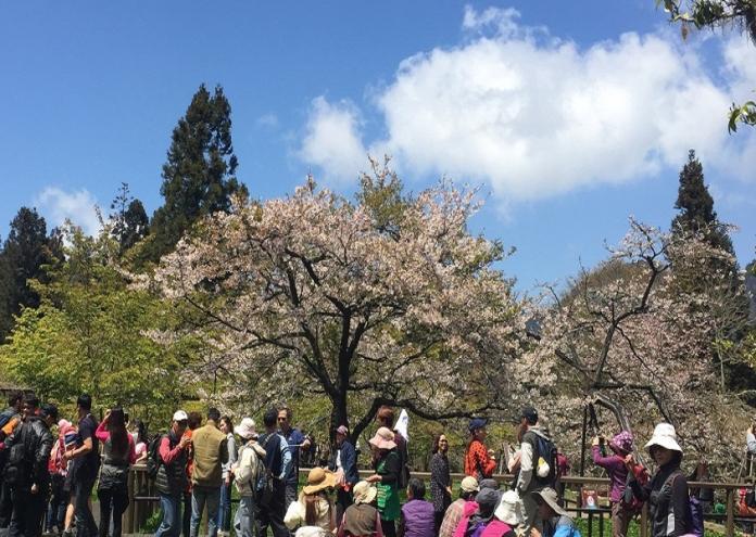 阿里山賞櫻花 疏運與雙票共構輕鬆遊