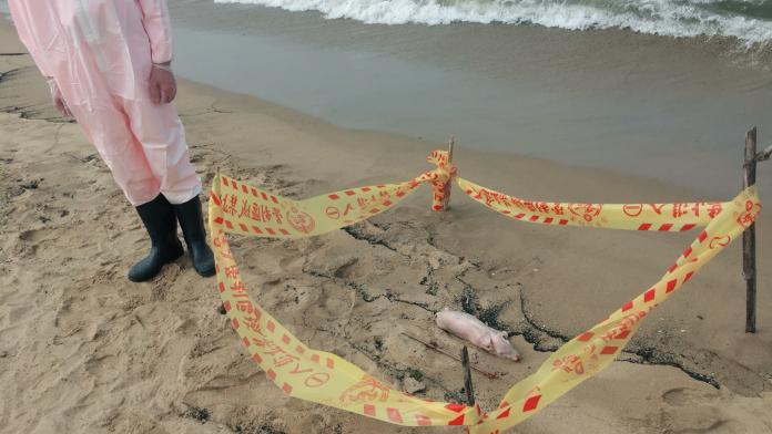 驚!<b>福隆</b>沙灘發現死豬 檢驗報告明天出爐