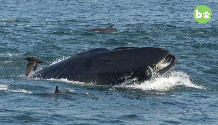 ▲潛水攝影師申普夫( Rainer Schimpf )在外海進行拍攝,遇上一隻覓食中布氏鯨,整個人慘遭大口含住,所幸布氏鯨幾秒後便張嘴放開。(圖/翻攝自Youtube Barcroft Animals)