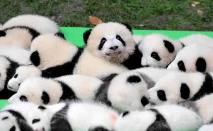 ▲高雄市觀光局長潘恆旭表示,貓熊可能帶來高達 50 億元以上的收益,然而這個說法卻立刻遭到網友吐嘈。(圖/翻攝自視覺中國)