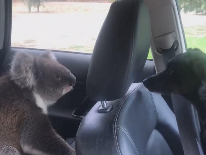 無尾熊擅闖民「車」,和車上狗狗大眼瞪小眼。(圖/facebook@tim.whitrow)