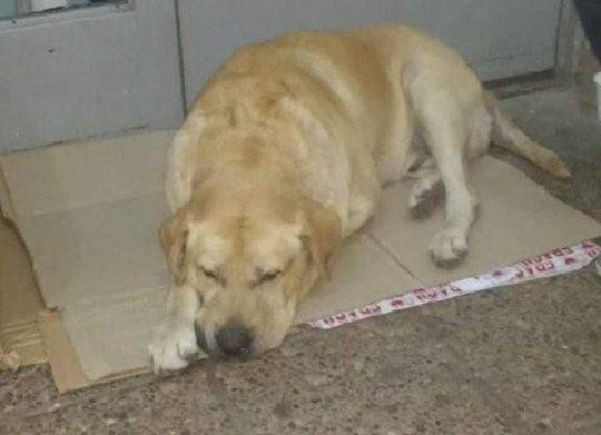 根據附近居民表示,Toto已經在醫院門口守了一個禮拜。(圖/CEN/ Twitter)