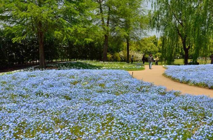 <br> ▲東武珍寶園內粉蝶花的最佳觀賞期為4月上旬至5月上旬。(圖/樂天旅遊)
