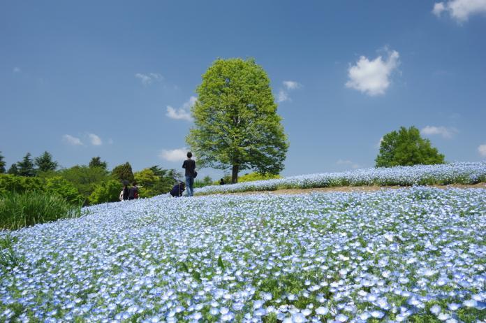 <br> ▲國營昭和紀念公園的粉蝶花最佳觀賞期為4月下旬至5月。(圖/樂天旅遊)