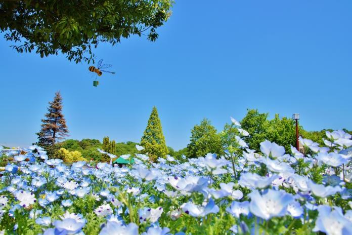 <br> ▲花卉節紀念公園內粉蝶花的最佳觀賞期為4月中旬至下旬。(圖/樂天旅遊)