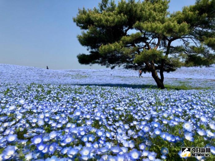 賞櫻不夠看!春季限定藍色花海 日本必訪5大<b>粉蝶花</b>田