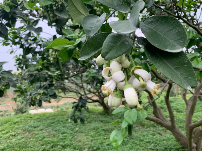 ▲新北市八里文旦柚遠近馳名,每年3、 4月是柚花盛開季節。(圖/新北市農業局提供)