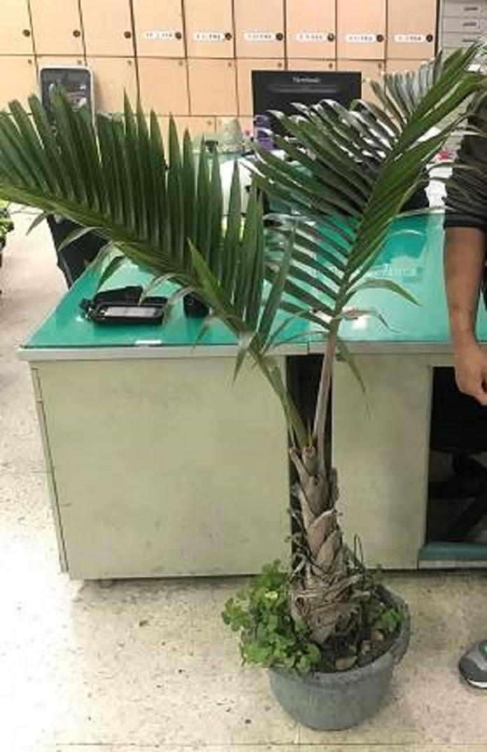 ▲一名烘培師傅偷別人家的椰子樹充當開幕盆栽(圖/警方提供 )