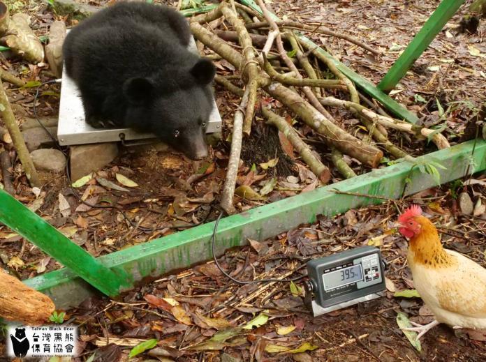 2019.03.31台灣黑熊在量體重,熊麻雞也在旁邊監控體重數字。(圖/取自台灣黑熊保育協會)