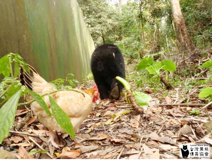 <br> 雞緊緊跟在黑熊屁股後面。(圖/取自台灣黑熊保育協會)