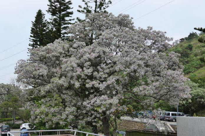 夏日花季 中市苦楝樹領先綻放
