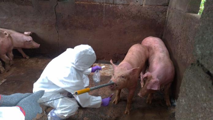 南韓爆首例非洲豬瘟! 今13時起攜豬肉入境最高罰百萬