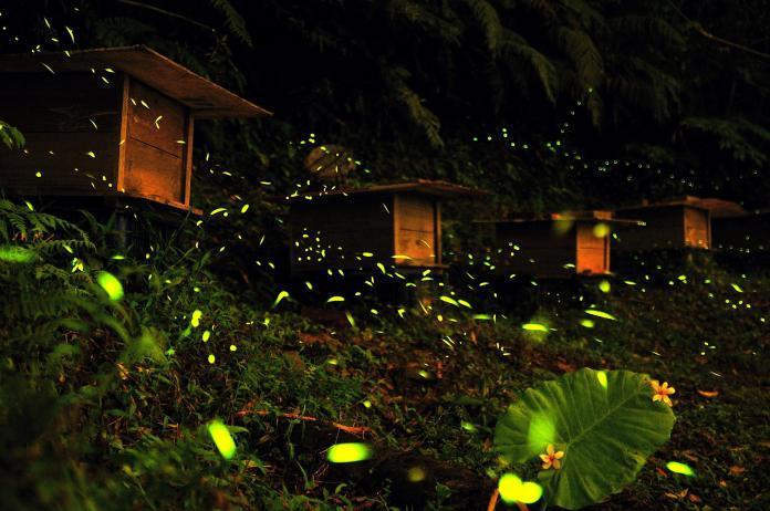<b>螢火蟲</b>浪漫飛舞點亮有機茶園 採茶、賞螢一次滿足