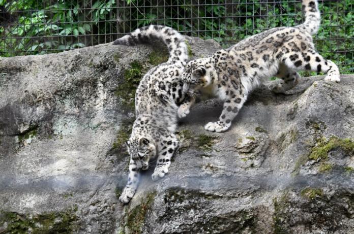 雪豹媽媽蜜蜜正在教導兒子小福垂直跳躍,牠的斯巴達教育方式就是逼小福直接跳下去!(圖/twitter@vanity_temple)