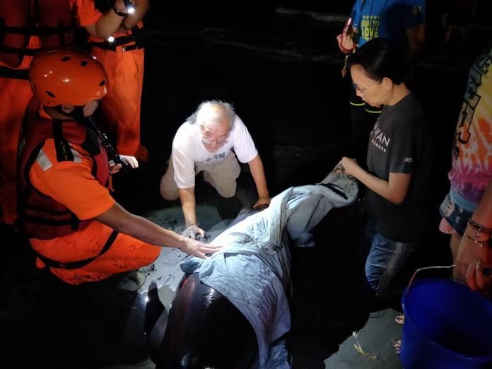 又傳<b>鯨豚</b>擱淺 高雄旗津6隻小虎鯨擱淺 1隻不幸死亡