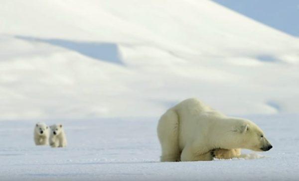 寛廣的北極大地上,一隻北極熊媽媽帶著二隻北極熊寶寶悠閒放空。(圖/翻攝自youtube@BBC)