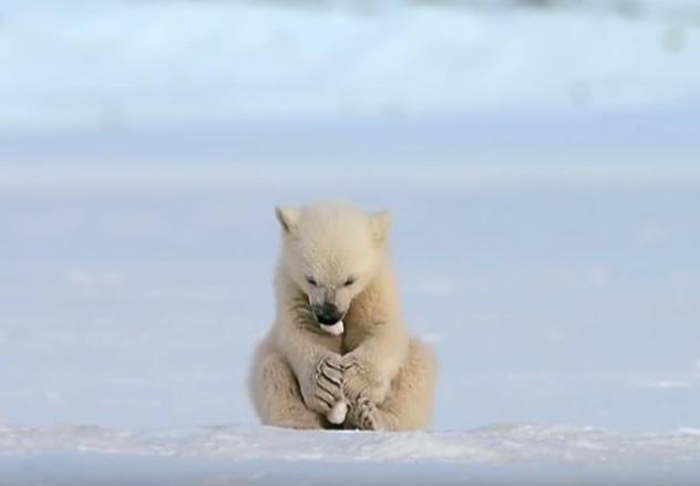 另一隻小北極熊在一旁玩雪,自得其樂。(圖/翻攝自youtube@BBC)