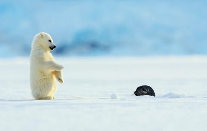 就在此時,一隻海豹在海裡看到冰層上有個洞,便探出頭來,沒想到正好嚇到這隻在玩雪的小北極熊!(圖/翻攝自youtube@BBC)