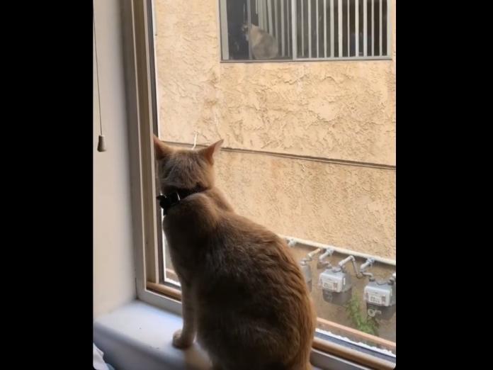 Coffman說:「當我一早醒來時,Simon在窗邊碎念,我抬起頭往窗外一看,發現對面鄰居窗邊竟然有一隻貓!我在這裡住兩年了,從沒見過他們的貓。」(圖/twitter@kenziecoffman)