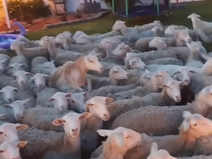 Russo除了一直大喊:「出去出去!」,也會不時發出羊叫聲試圖跟羊群溝通。(圖/Youtube@ Scott Russo)