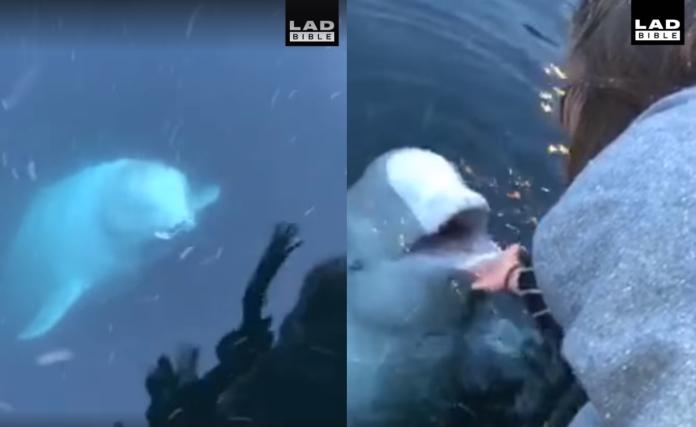 影/不可思議!iPhone掉海裡 小白鯨叼起送回海面還失主