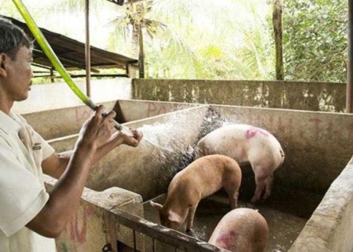 非洲豬瘟蔓延至越南29個省份
