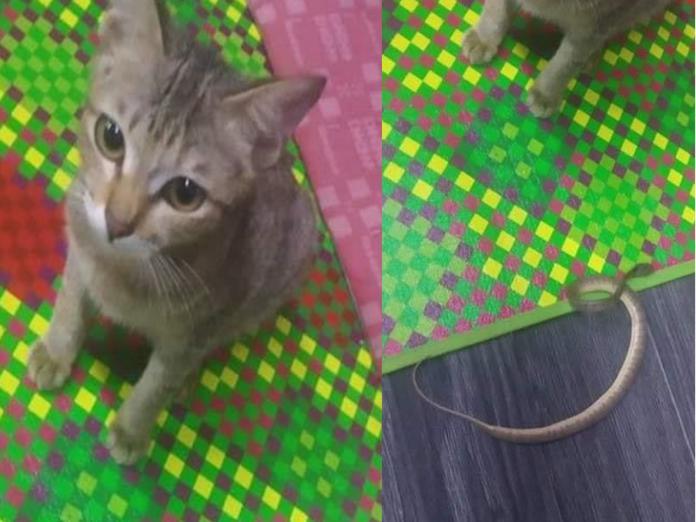 虎斑貓咬壞主人的耳機,竟抓野生小蛇來賠罪!(圖/FB@PawsLogic)