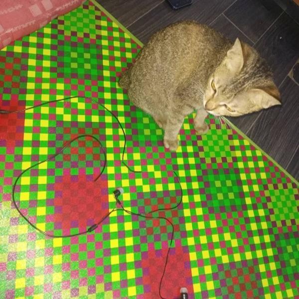 小貓又再次咬壞另一條耳機線,這次主人完全不敢再罵牠了(圖/FB@Haryanto Pherwhirra Ramadhani)