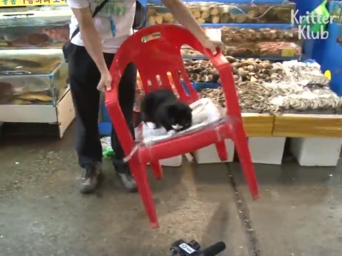 Suhyup從不輕易離開紅色寶座,就算椅子被甩來甩去,牠依然堅持要坐在上面! (圖/Youtube@James Alan)