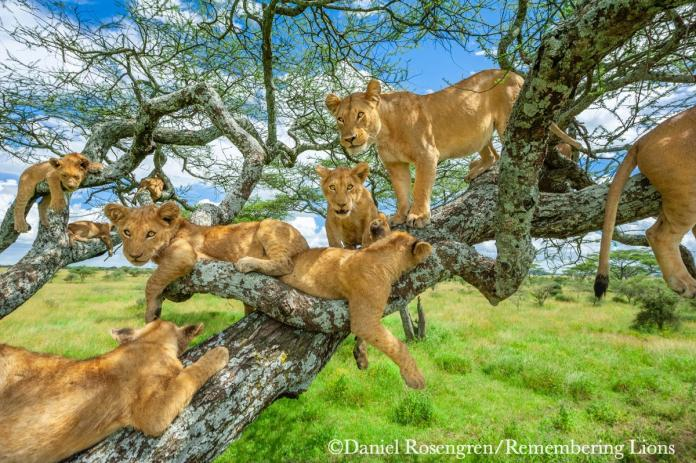 攝影師「真實版獅子王」霸氣照 成功募款650萬元做保育
