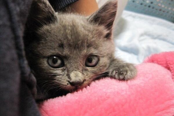 這隻叫做鮭夫(しゃけお)的貓咪是網友母親幾年前在路邊撿到的貓,當時只有巴掌大的牠連眼睛都還未變色,臉跟手都小小的超級可愛!(圖/Twitter@toufu0420)