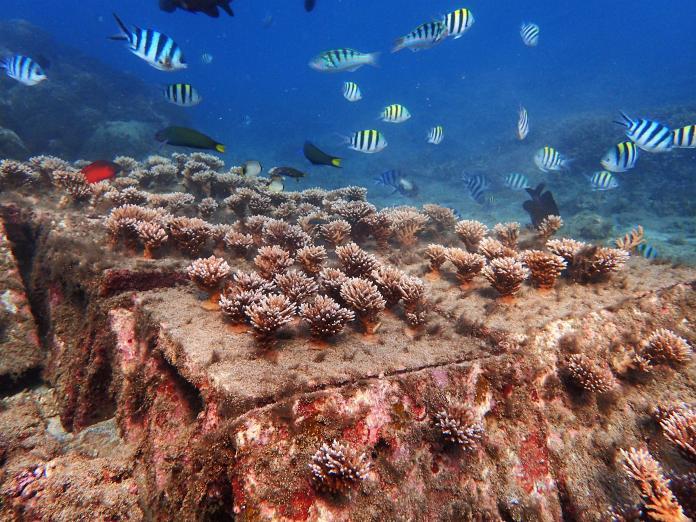 影/澎湖海洋花園首度曝光 熱帶魚優游珊瑚種植成功