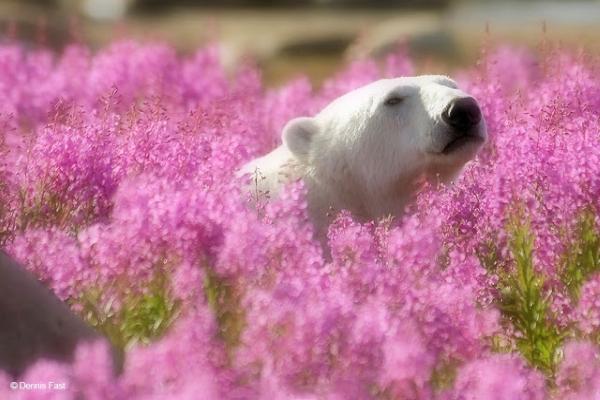 北極熊:啊!這裡是天堂~(居然還用柔焦鏡頭!)(圖/Dennis Fast)