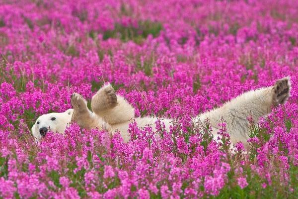 北極熊:今天的天氣真舒服~很適合打滾!(圖/Dennis Fast)