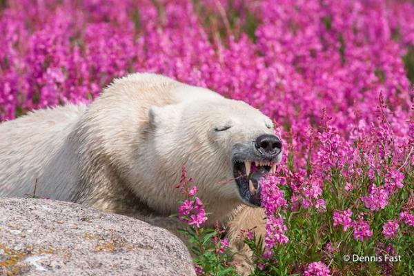 北極熊:來吃一點小花……(啊!樣子崩壞了啦!形象形象!)(圖/Dennis Fast)