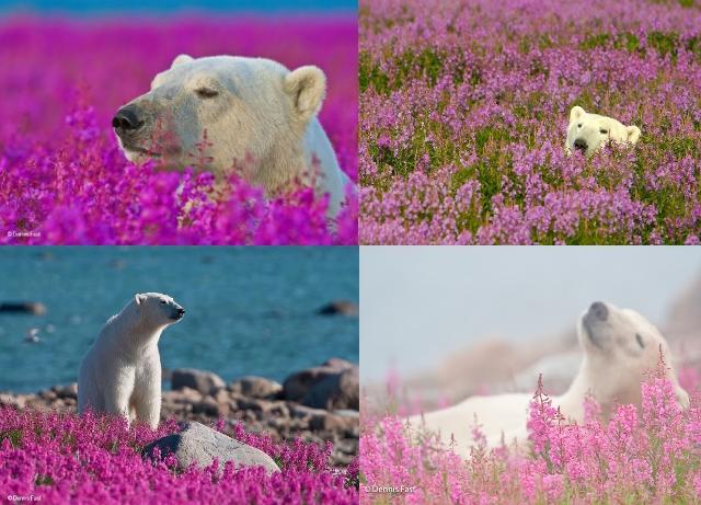 北極熊各種角度的享受,是不是很可愛呢?(圖/Dennis Fast)