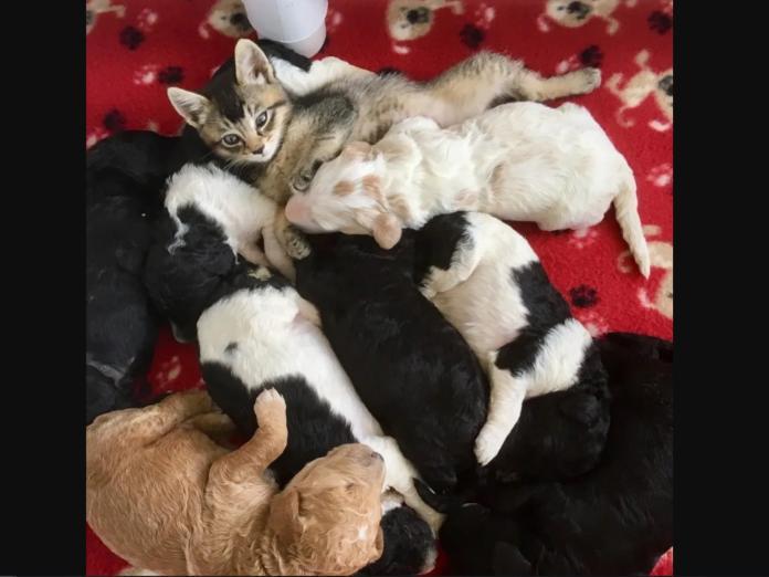 而娜拉也平安地在狗家庭裡面長大,甚至在吃飽喝足之後,會擠在小狗狗們之間呼嚕,可見牠有多愛自己的新家庭! (圖/Jamie Myers)