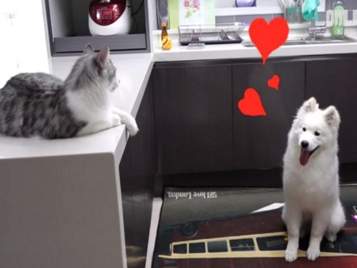 薩摩耶Milky的眼裡只有貓咪Gwangbok(圖/翻攝自Youtube@SBS TV동물농장x애니멀봐 )