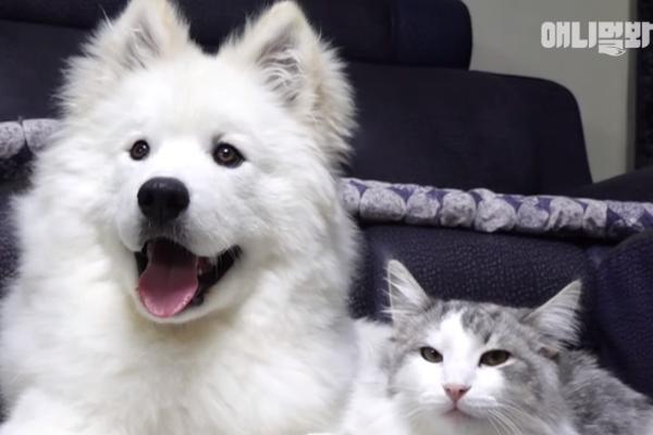 薩摩耶犬被喵星人同化 竟當起貓咪玩逗貓棒嗑貓草!