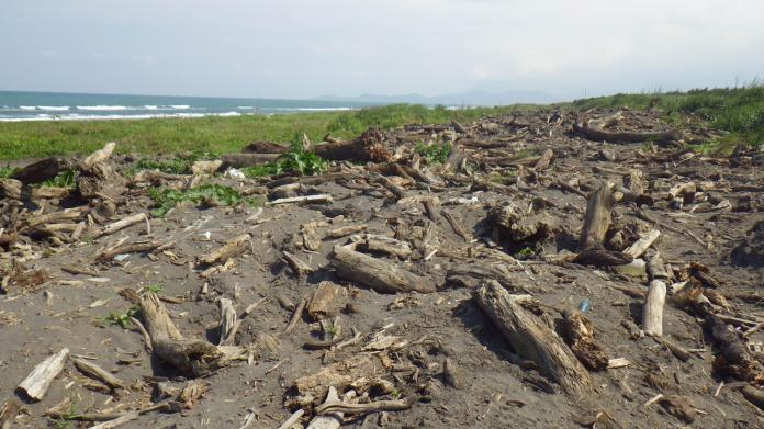 羅東林區管理處開放五結鄉蘭陽溪出海口南岸的漂流木臨時堆置場的漂流木供宜蘭縣民自由撿拾