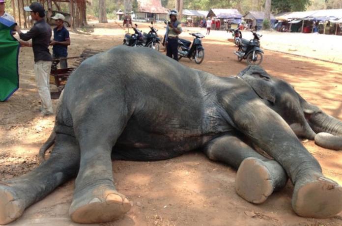 吳哥窟2020年禁大象載客 14隻大象退休回歸半自然保育區