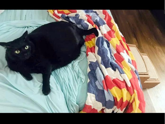 強迫胖貓運動減肥 牠翻肚賣萌求饒:不要逼朕~