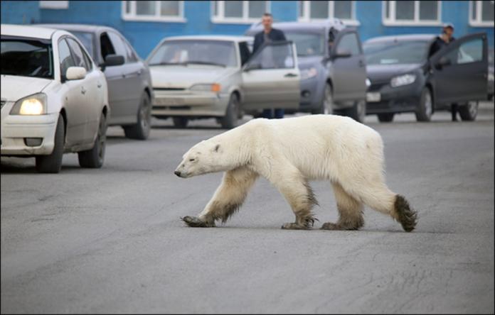 ▲俄羅斯北方工業城諾里爾斯克有北極熊現蹤。(圖/翻攝 The Siberian Times)