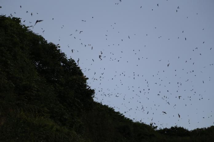 ▲盤旋在空中的蝙蝠常因為濱海公路上行車的氣旋遭捲落地面,被車輛輾斃、撞傷。(圖/新北市動保處提供)