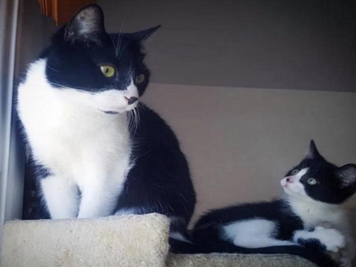 瘦小黑白貓見到相似大哥 從此黏住牠組成賓賓雙喵組