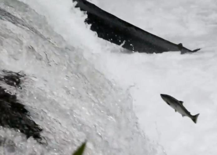 逆流而上!北海道櫻鮭 躍過4公尺高瀑布<b>產卵</b>