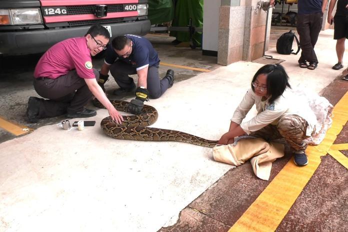 ▲經保育員測量,該隻蟒蛇體長383公分,是近年來補捉到體型最大的緬甸蟒。(圖/金門消防局提供)